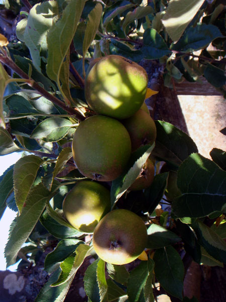 apples 蘋果